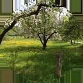 apple-trees-spring